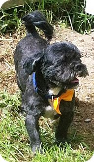Shih Tzu Mix Dog for adoption in Port Hope, Ontario - Matt