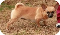 Chihuahua Mix Dog for adoption in Ocala, Florida - Ginger ($250)