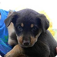 Adopt A Pet :: sugar pie - cameron, MO