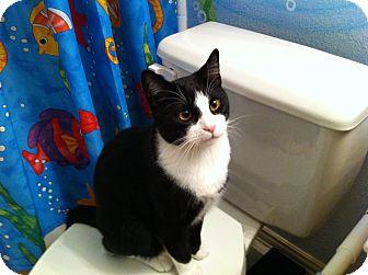 Domestic Shorthair Cat for adoption in Plano, Texas - KEATON - MR MOM!!!