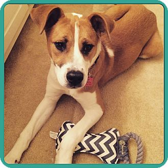 Labrador Retriever/Boxer Mix Puppy for adoption in Greenfield, Wisconsin - LIVI