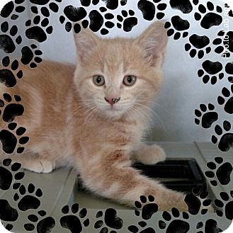 Domestic Shorthair Kitten for adoption in Pueblo West, Colorado - Tillee