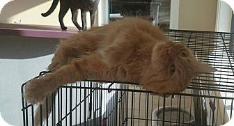 Domestic Longhair Cat for adoption in Lakeland, Florida - Sarabi