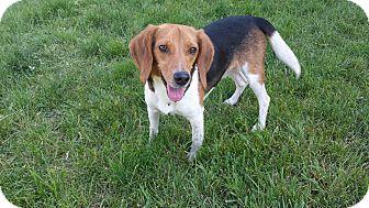 Beagle Dog for adoption in Palatine, Illinois - Daniel