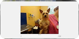 Terrier (Unknown Type, Small) Mix Dog for adoption in Palm Harbor, Florida - Paddington