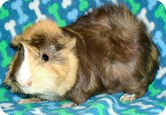 Guinea Pig for adoption in Highland, Indiana - Smarty