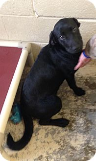 Labrador Retriever Mix Puppy for adoption in Greensburg, Pennsylvania - Lucy