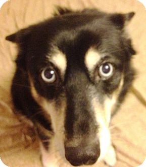 Eskimo Dog/Husky Mix Dog for adoption in Bellingham, Washington - Chilli