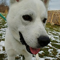 Husky Mix Dog for adoption in Bay City, Michigan - Chevayo