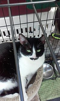 Manx Cat for adoption in Valrico, Florida - Ralphie