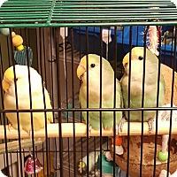 Adopt A Pet :: Sunny Weather - Lenexa, KS