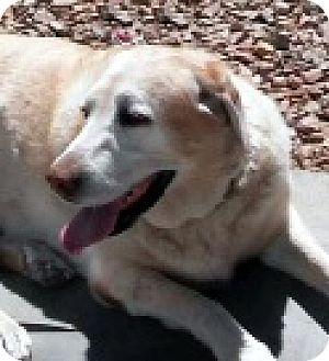 Golden Retriever/Labrador Retriever Mix Dog for adoption in Las Vegas, Nevada - Nikki
