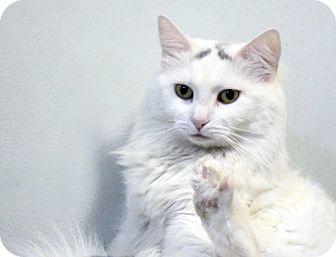 Domestic Longhair Cat for adoption in New York, New York - Jocelyn