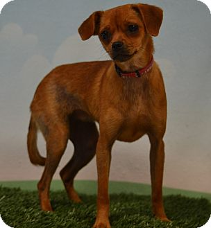 Chihuahua/Dachshund Mix Puppy for adoption in Lebanon, Missouri - Laverne