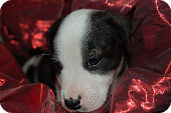 Labrador Retriever/Blue Heeler Mix Puppy for adoption in Lebanon, Tennessee - TINKER