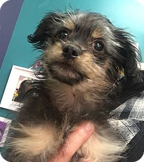 Yorkie, Yorkshire Terrier/Chihuahua Mix Puppy for adoption in Thousand Oaks, California - Jekyll