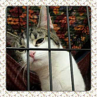 Domestic Shorthair Kitten for adoption in Coshocton, Ohio - Betty