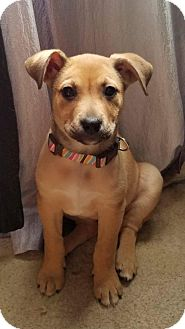 Shepherd (Unknown Type)/Shepherd (Unknown Type) Mix Puppy for adoption in Albuquerque, New Mexico - Ginger