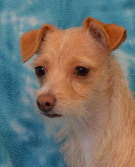 Terrier (Unknown Type, Small) Mix Dog for adoption in Eureka, California - WHEY