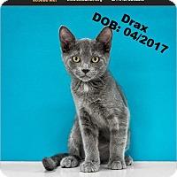 Adopt A Pet :: Drax - Chandler, AZ