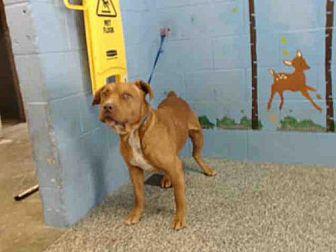Pit Bull Terrier Mix Dog for adoption in San Bernardino, California - A506329