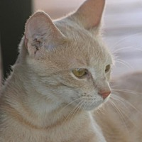 Adopt A Pet :: Peaches - North Fort Myers, FL