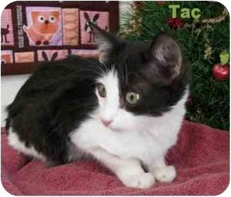 Domestic Mediumhair Kitten for adoption in Ozark, Alabama - Tac