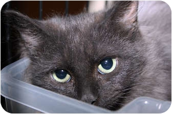 Domestic Mediumhair Kitten for adoption in Loveland, Colorado - Smokey