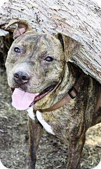 American Staffordshire Terrier Mix Dog for adoption in Gilbert, Arizona - Samson