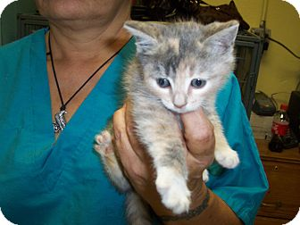 Domestic Shorthair Kitten for adoption in Piscataway, New Jersey - Dilute Calico-F