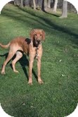 Labrador Retriever Mix Dog for adoption in Lewisville, Indiana - Scooby