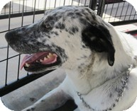 Pointer/Dalmatian Mix Dog for adoption in Poway, California - El Rey