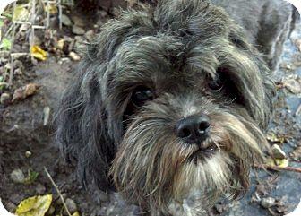 Shih Tzu Dog for adoption in Delaware, Ohio - Romeo