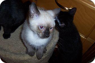 Siamese Kitten for adoption in Pueblo West, Colorado - Fresca