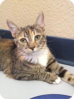 Domestic Shorthair Kitten for adoption in Fountain Hills, Arizona - SAKARA