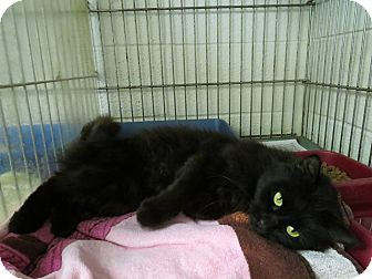 Domestic Shorthair Cat for adoption in Henderson, North Carolina - Eve