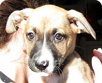 German Shepherd Dog/Labrador Retriever Mix Puppy for adoption in Oakley, California - Baby Mistletoe