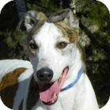 Greyhound Mix Dog for adoption in El Cajon, California - KC
