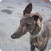 Adopt A Pet :: Filbert - Roanoke, VA