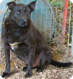 Border Collie/Labrador Retriever Mix Dog for adoption in Tahlequah, Oklahoma - Taz