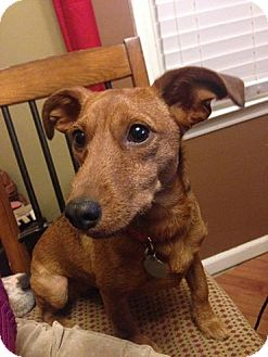 Fox Terrier (Smooth) Mix Dog for adoption in Nashville, Tennessee - Lillian