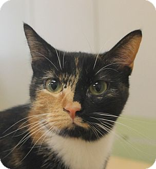 Domestic Shorthair Cat for adoption in Chicago, Illinois - Ivy