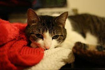 American Shorthair Cat for adoption in New York, New York - Friskie