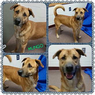Shepherd (Unknown Type) Mix Dog for adoption in Louisburg, North Carolina - Mungo