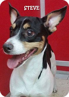 Rat Terrier Mix Dog for adoption in Lapeer, Michigan - STEVE---NEW GUY ON THE BLOCK
