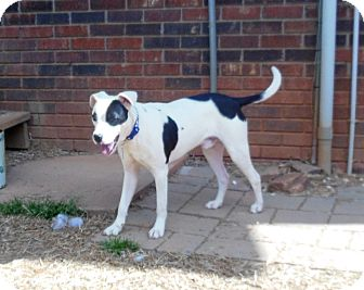 Boxer/Pit Bull Terrier Mix Dog for adoption in North Wilkesboro, North Carolina - Duncan
