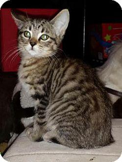 Domestic Shorthair Kitten for adoption in Hainesville, Illinois - Starfire