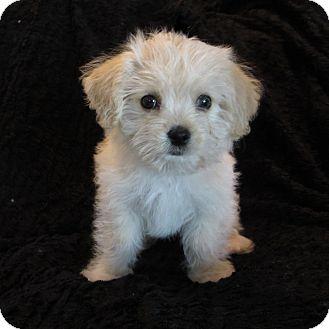 Maltese/Yorkie, Yorkshire Terrier Mix Puppy for adoption in Covina, California - Milo