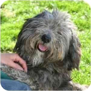 Dandie Dinmont Terrier Mix Dog for adoption in Berkeley, California - Lazlo