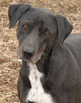 Labrador Retriever Mix Dog for adoption in Shelbyville, Tennessee - Roo